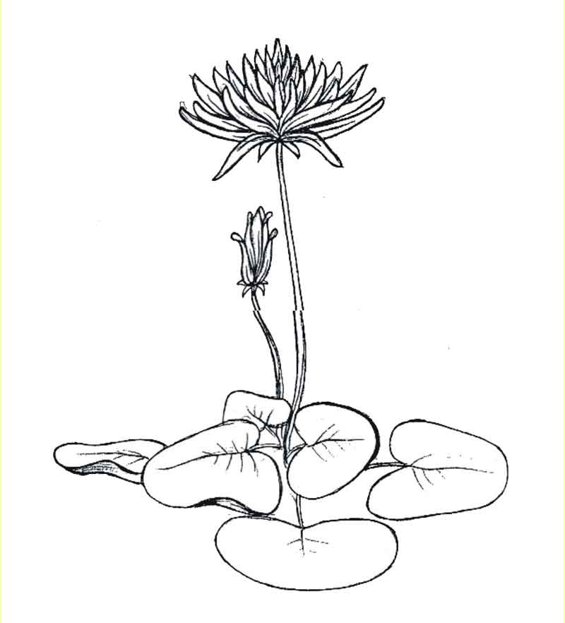 Buddhist Lotus Drawing Amitabha buddha riding peacock